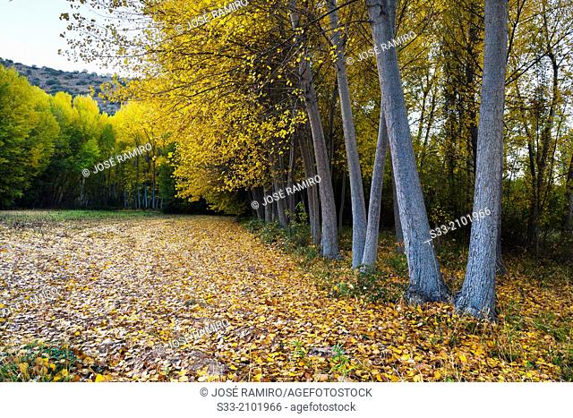 Poplars in the Dulce river gorge. Aragosa. Guadalajara. Castilla la Mancha. Spain