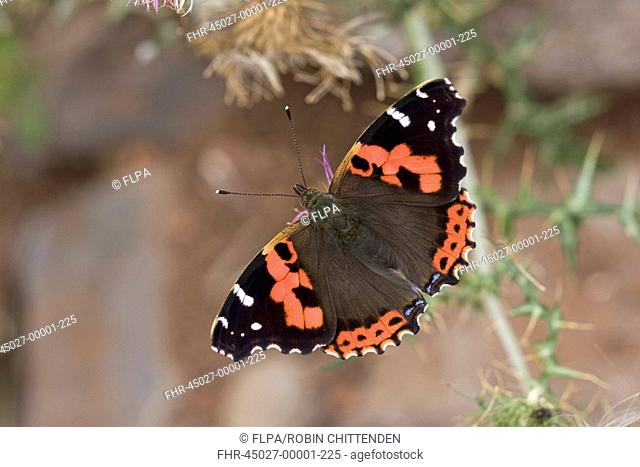 Canary Red Admiral Vanessa vulcania adult, wings open, La Gomera, Canary Islands