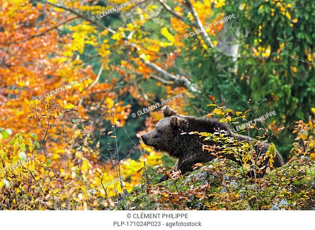 European brown bear (Ursus arctos arctos) foraging in forest with foliage showing autumn colours