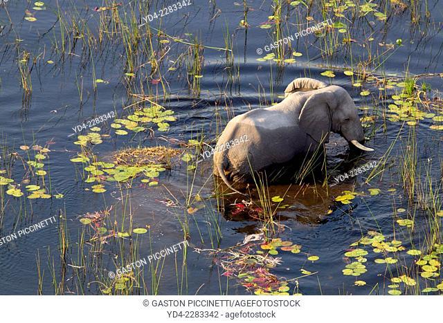 Aerial view of African Elephant (Loxodonta africana), in the water, Okavango Delta, Botswana. The Okavango Delta is home to a rich array of wildlife