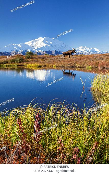 Bull moose stands on the autumn colored tundra by a small kettle pond with the summit of Mt McKinley in the dstance, Denali National Park, Alaska