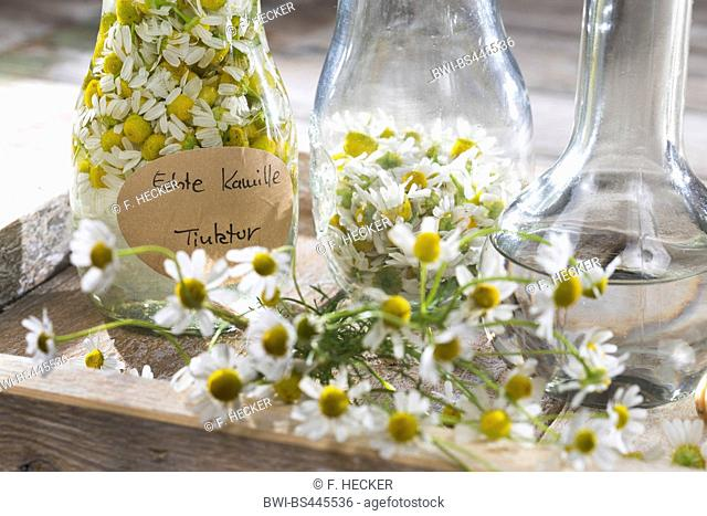 scented mayweed, german chamomile, german mayweed (Matricaria chamomilla, Matricaria recutita), self-made production of alcoholic extract of chamomille, Germany
