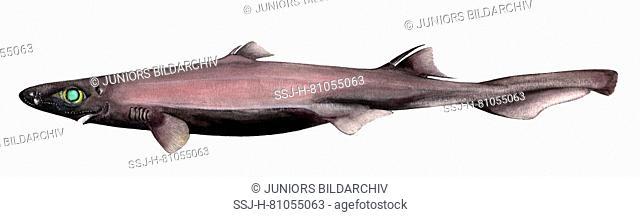 Velvet Belly Lantern Shark, Velvet Belly (Etmopterus spinax), drawing. Small, up to 30 cm long deep water member of the Spurdog family of eastern Atlantic Ocean...