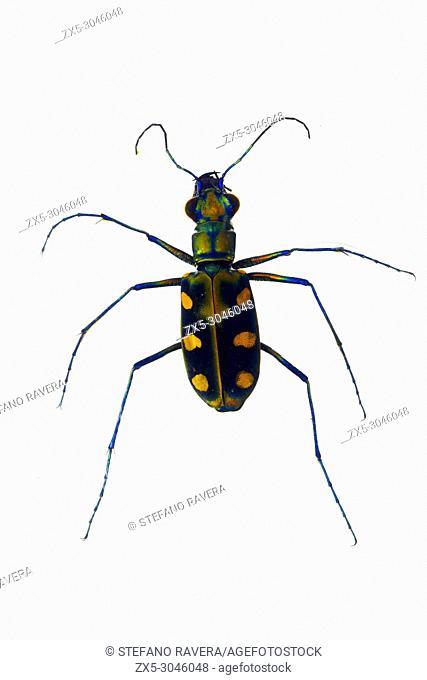 Tiger Beetle in resin