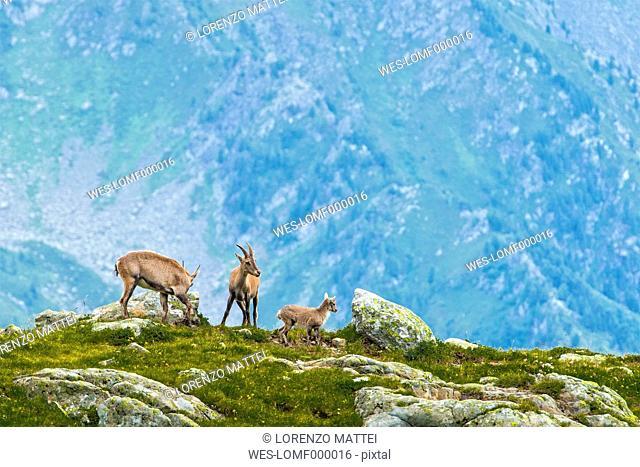 Switzerland, Lac de Cheserys, three Alpine Ibex in the mountains