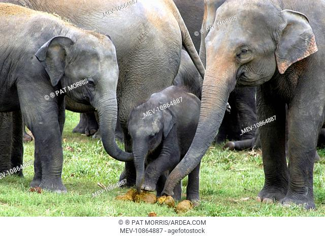 Asian Elephant - females showing baby elephant dung, investigating by touch and smell (Elephas maximus). Pinnawela Orphanage - Sri Lanka