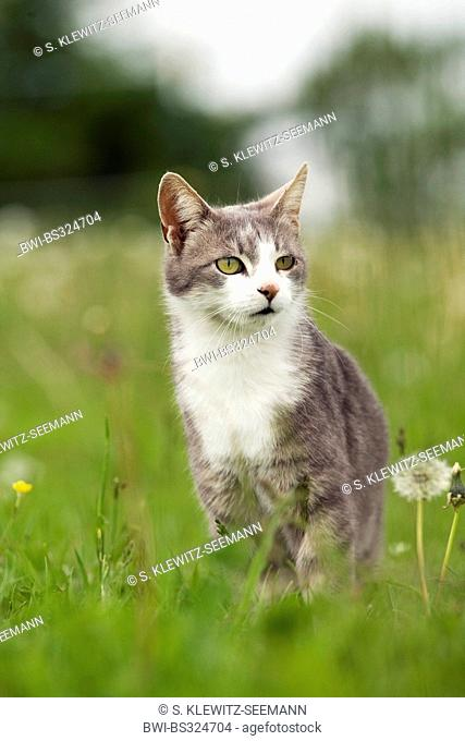 domestic cat, house cat (Felis silvestris f. catus), sitting in a meadow, Germany