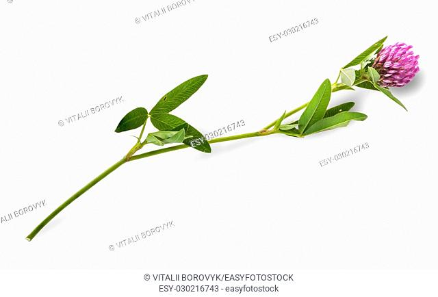 Clover flower with leaves on a long stalk isolated on white background