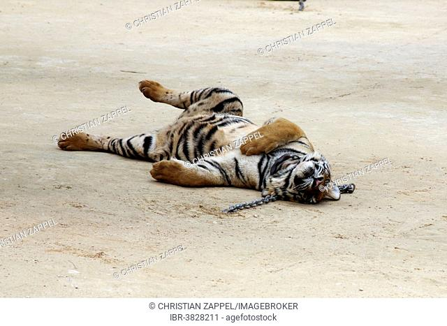 Tiger Temple or Wat Pa Luangta Bua, Indochinese Tiger (Panthera tigris corbetti) with a chain around its neck, Kanchanaburi, Thailand