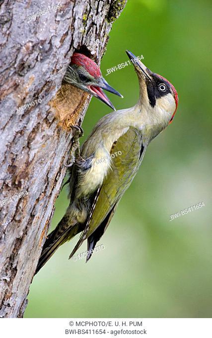 green woodpecker (Picus viridis), at breeding cave, Austria, Upper Austria