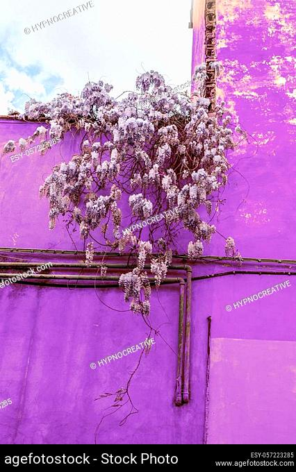 Beautiful wisteria flower blossoms against the old wall