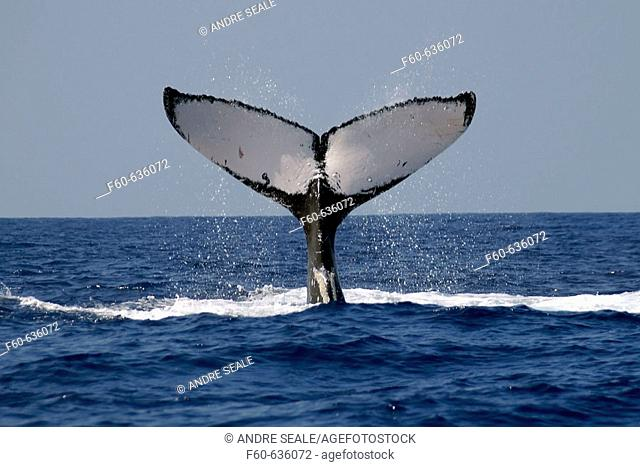 Humpback whale (Megaptera novaeangliae), fluke, Kailua-Kona,  Big Island, Hawaii (Pacific)