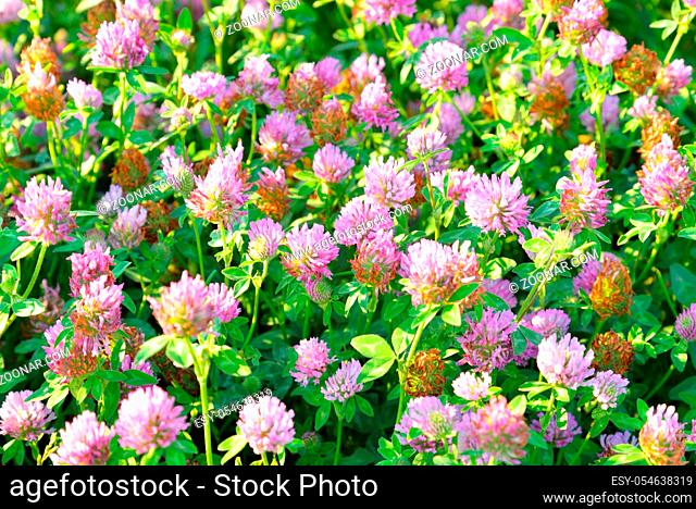 Red clover, Latin Trifolium pratense. A plant of the genus Clover , the legume family, subfamily butterfly