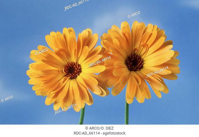 Garden Marigold Calendula officinalis