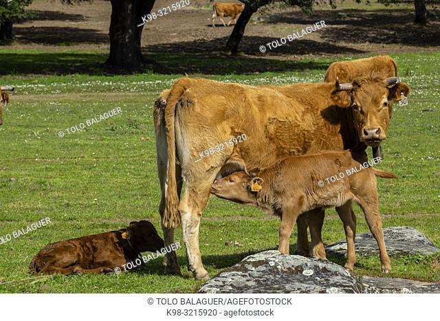 ganado vacuno pastando cerca de Evora, Alentejo, , Portugal