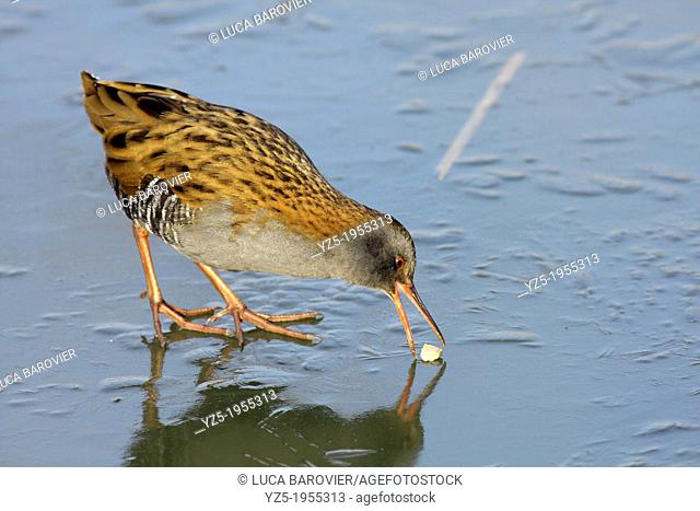Water Rail eating