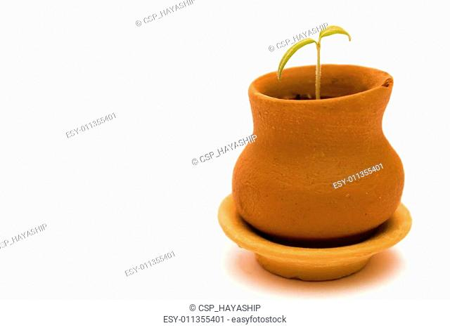 little cherry tomato plant in small pot isolated on white background
