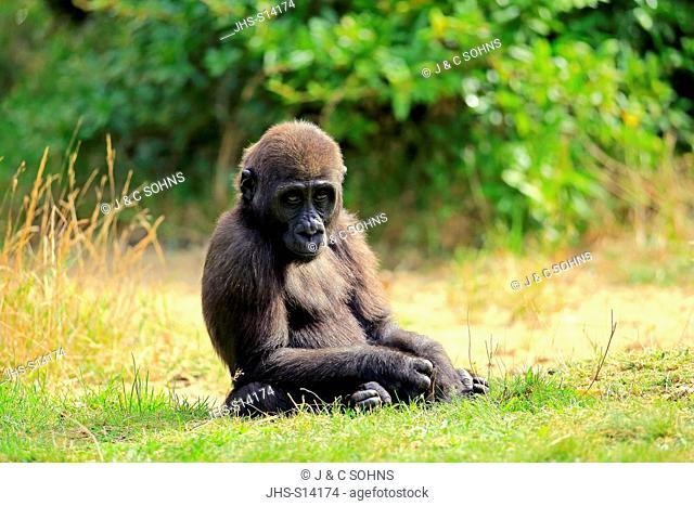 Lowland Gorilla, (Gorilla gorilla), young relaxed, Africa
