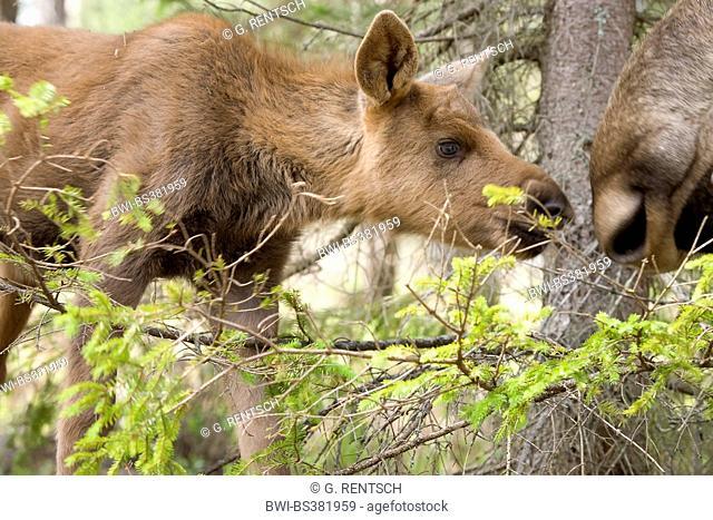 elk, European moose (Alces alces alces), elk calf at the elk park Anneroed, Sweden, Bohuslaen