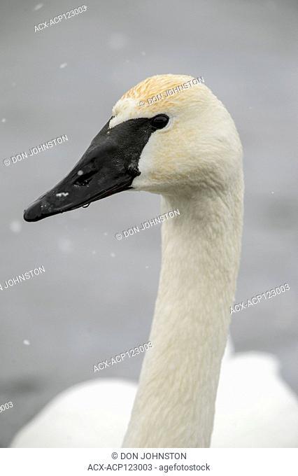 Trumpeter swan (Cygnus buccinator), Fielding Park Sanctuary, Greater Sudbury, Ontario, Canada
