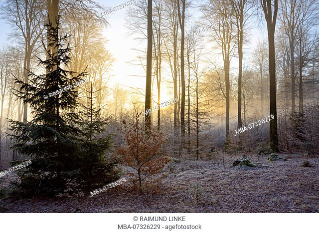 Forest in winter with sun, Weibersbrunn, Spessart, Bavaria, Germany