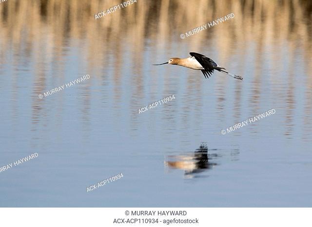 American Avocet (Recurvirostra americana) In flight, with reflection in prairie slough, colorful shorebird. Rural Alberta, Canada