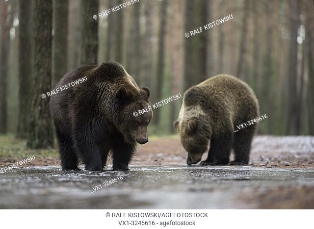 Brown Bear / Braunbaeren ( Ursus arctos ), young adolescents, standing on an ice covered puddle, exploring the frozen water, looks funny, Europe