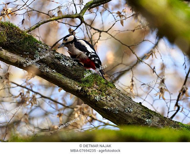 Great spotted woodpecker, Dendrocopos major
