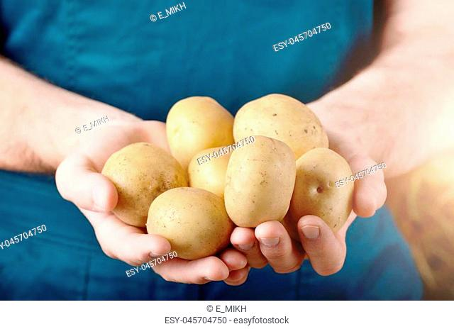 Farmer hold fresh organic potatoes in his hands. Vegetable harvest concept