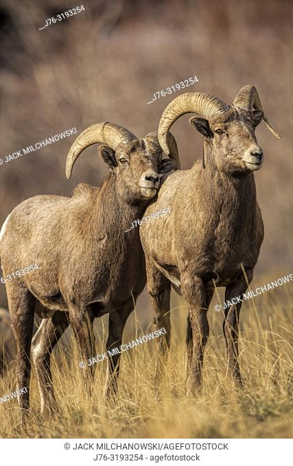 Bighorn sheep (Ovis canadensis) Taken at various locations along the North Fork Highway and the North Fork Shoshone River in Wyoming west of Cody, Wyoming, U