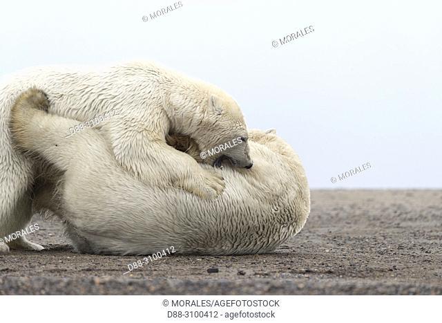 United States, Alaska, Arctic National Wildlife Refuge, Kaktovik, Polar Bear( Ursus maritimus ), two animals wrestling along a barrier island outside Kaktovik