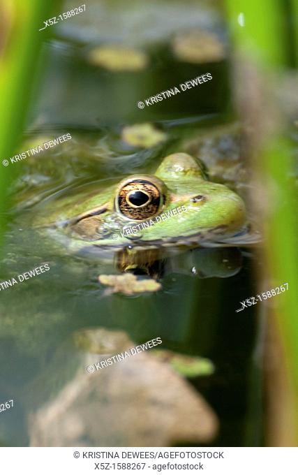 A Green Frog floating in the water of a small pond