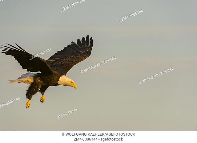 A Bald eagle (Haliaeetus leucocephalus) in flight coming in to catch a fish, near Baddeck on Bras d'Or Lake, Nova Scotia, Canada