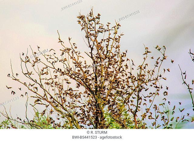 common starling (Sturnus vulgaris), flock landing on a tree, Germany, Bavaria