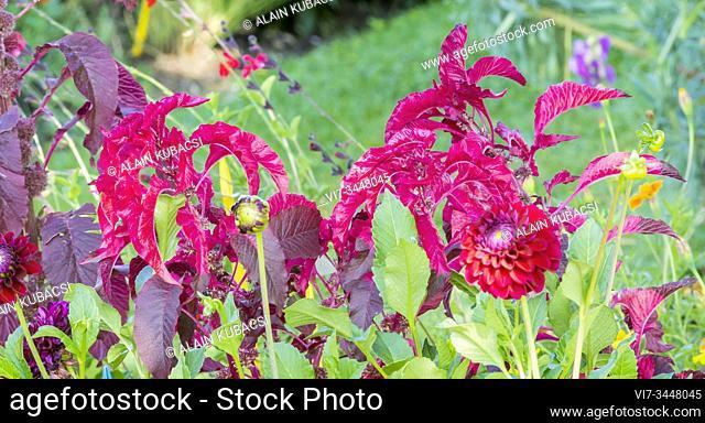 Amaranthus tricolor 'Splendor Perfecta', Dahlia 'Anka'