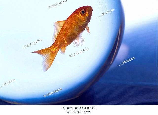 Goldfish swimming in a small fishbowl