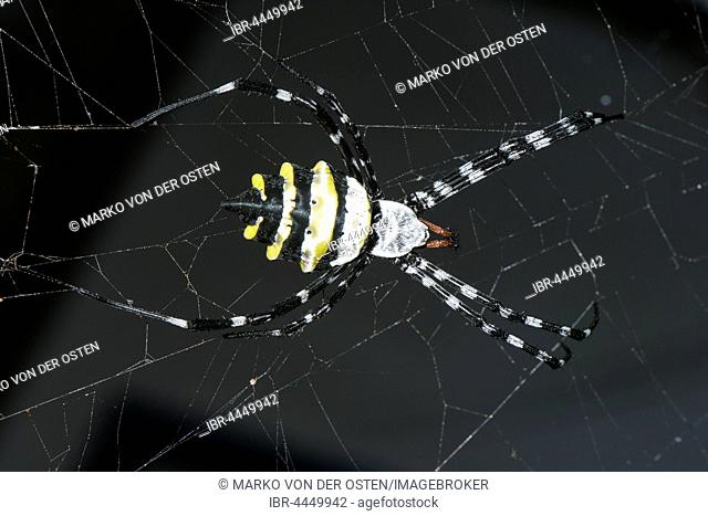 Wasp Spider (Argiope coquereli) Reniala Reserve, Ifaty, Madagascar