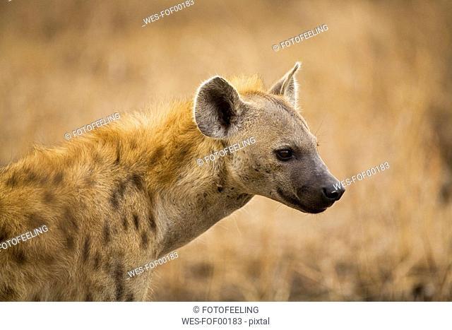 South Africa, Krüger National Park, Spotted Hyana