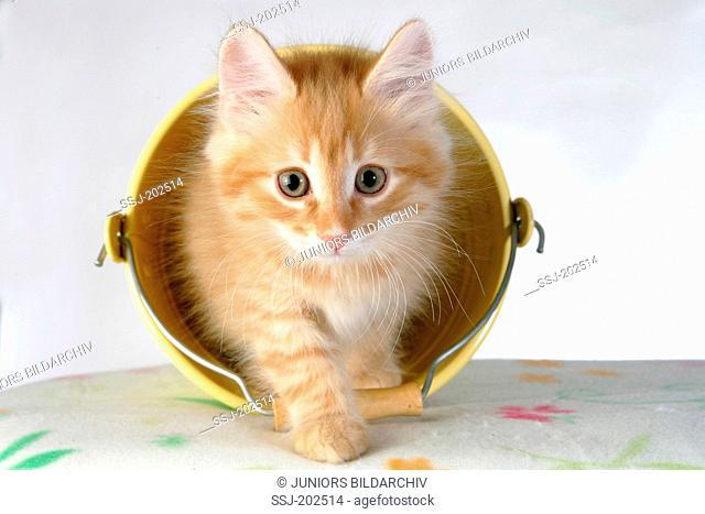 Norwegian Forest Cat. Kitten walking out from a little yellow bucket. Germany