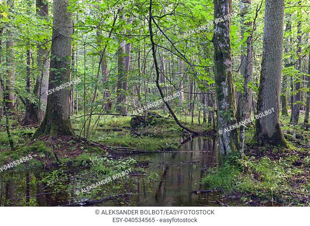 Deciduous stand in morning rain after with old trees in foreground, Bialowieza Forest, Poland, Europe