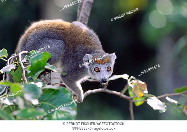 Crowned maki (Eulemur coronatus), female. Lake Ampitabe, near Tamatave. Madagascar