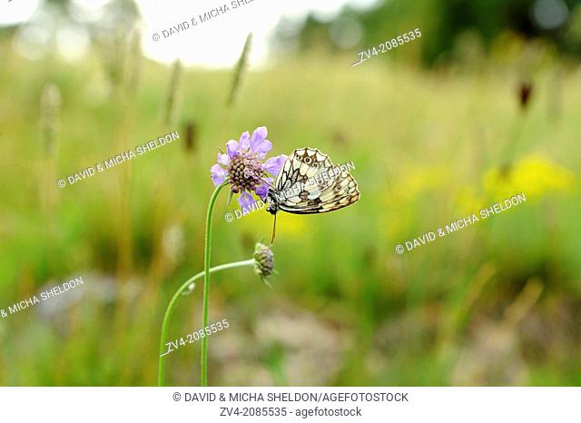 Close-up of a Marbled White (Melanargia galathea) butterfly on a blossom in a meadow, Bavaria, Germany