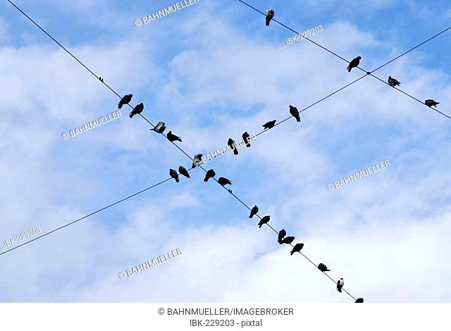 Doves on wires
