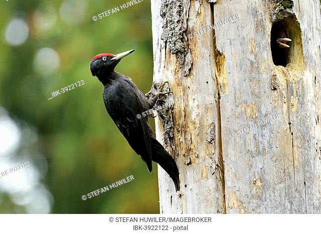 Black Woodpecker (Dryocopus martius) at the nest hole with a chick, Biebrza National Park, Poland