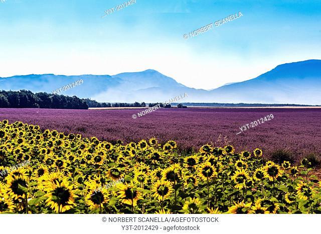 Europe, France, Alpes-de-Haute-Provence, 04, Regional Natural Park of Verdon, Valensole field of sunflowers and lavender