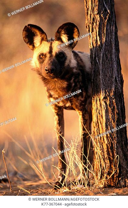 African wild dog (Lycaon pictus) in captivity. Game farm. Namibia