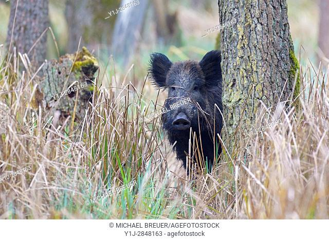Wild boar (Sus scrofa) in Springtime, Hesse, Germany, Europe