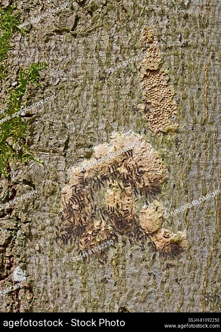 Gypsy Moth (Lymantria dispar). The small black caterpillars hatch from egg packets on the bark of a beech tree in spring at the beginning of the leaf shoot and...