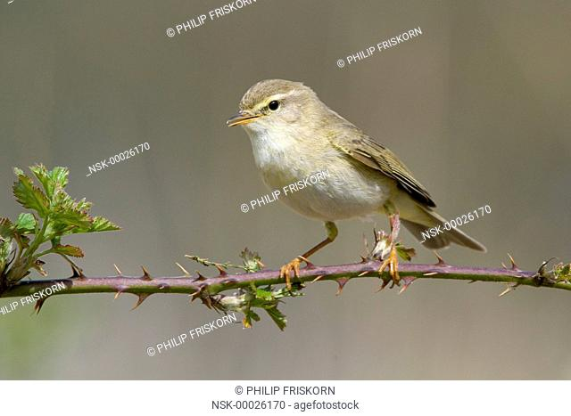 A male Willow Warbler (Phylloscopus trochilus) on a branch of a bramble singing, 3-5-2008