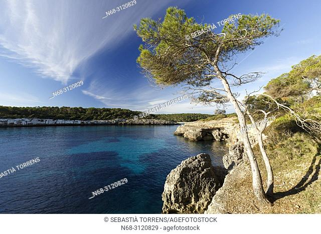 Aleppo pine (Pinus halepensis), at Natural Park of Mondrago, Santanyi, Majorca, Balearic Islands, Spain